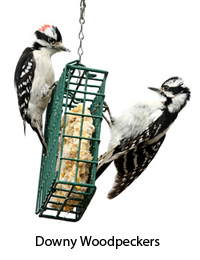 downy-woodpeckers