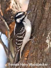 hairy-woodpecker